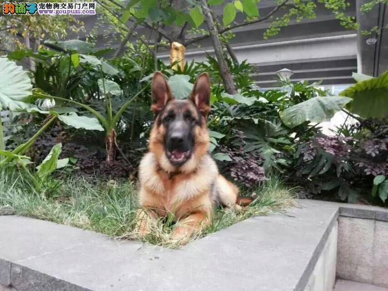 爱犬转让寻一有心人悉心照料