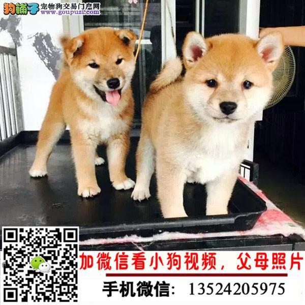 品质有保障 信誉售后服务 狗场直销纯种柴犬
