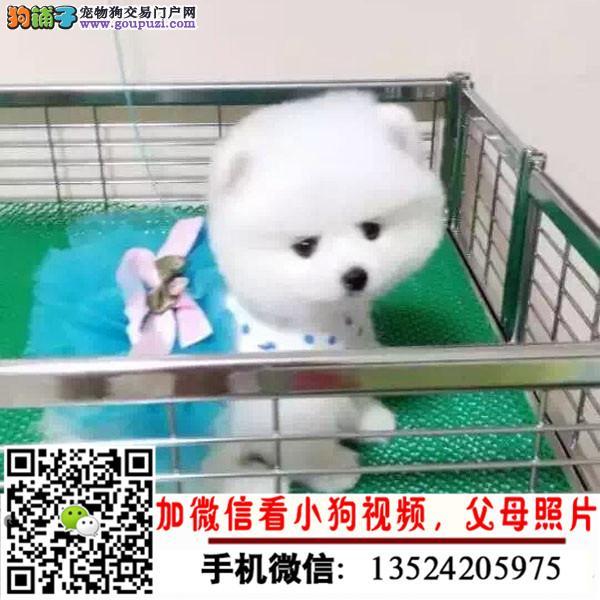 顶级 高品质的博美幼犬出售了 疫苗做完 质量三包
