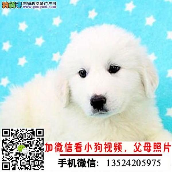 养殖场出售:阿拉斯加拉布拉多金毛等中型犬纯种健康