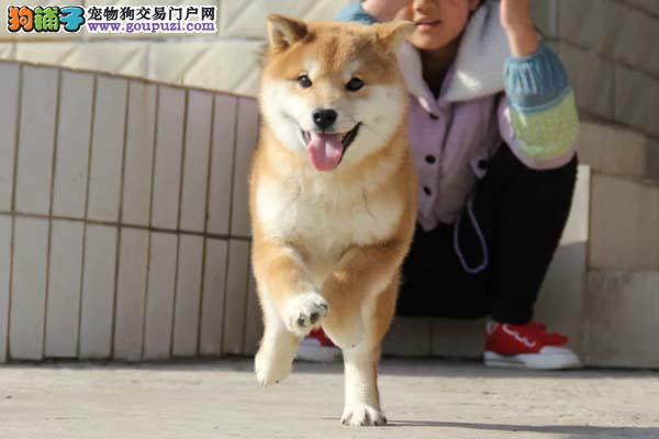 出售武威柴犬专业缔造完美品质签订协议终身质保