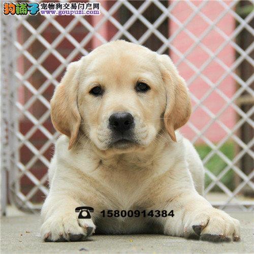 神犬小七同款/聪明可爱的拉布拉多幼犬