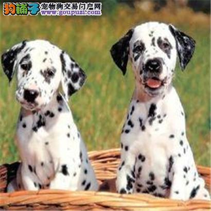 信誉第一 品质第一 极品斑点幼犬 超健康质保 十佳犬舍