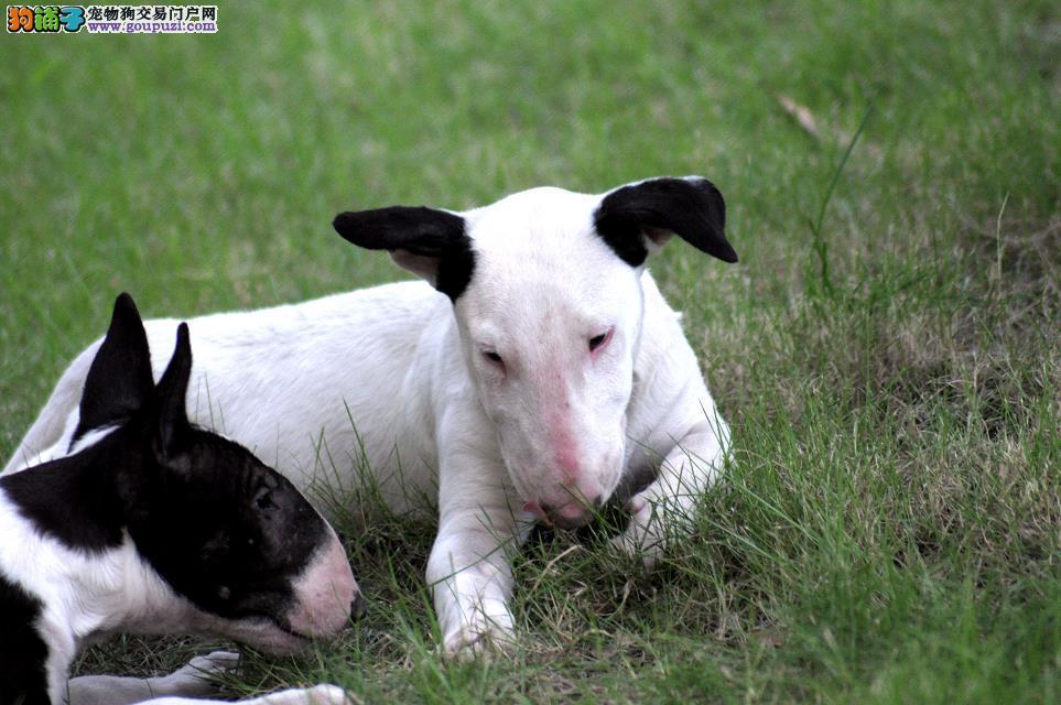 重庆出售纯种强壮、敏捷而且勇敢的牛头梗幼犬