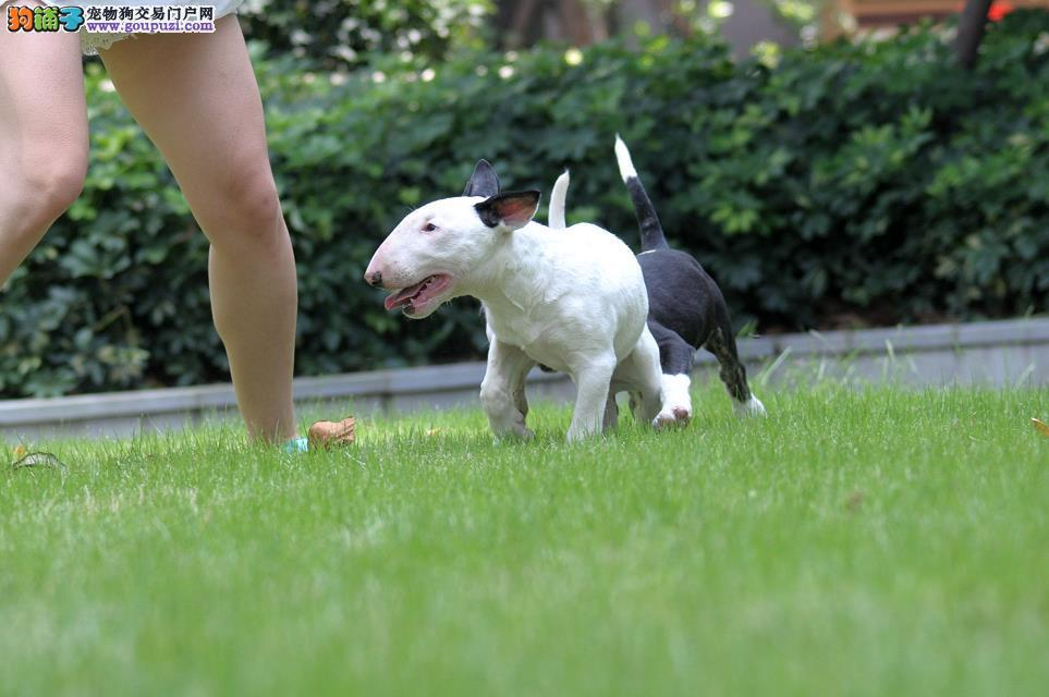 精品纯种广东牛头梗出售质量三包购犬可签协议