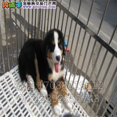 犬舍出售品质优良 纯血统伯恩山 三针做完 签协议