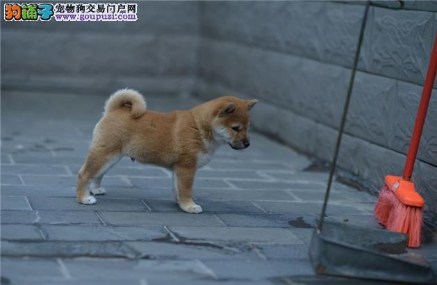 忠诚可靠的漂亮柴犬 防疫齐全品相好保证超纯种超健康
