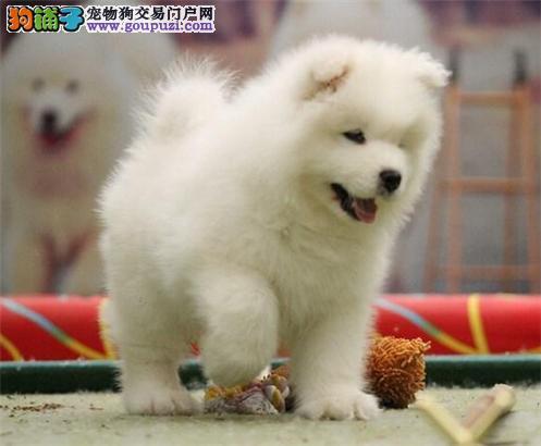 澳版萨摩耶幼犬骨量大毛量佳健康质保 可签协议