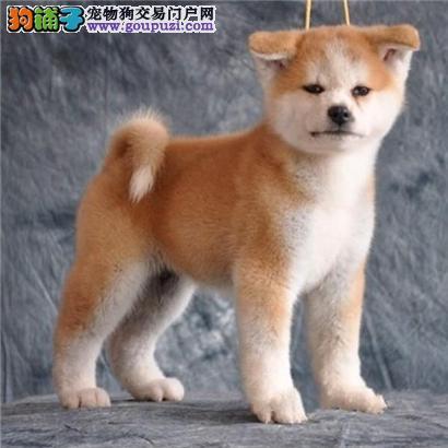 忠犬八公日本超级可爱秋田犬 忠诚可靠 一辈子质保