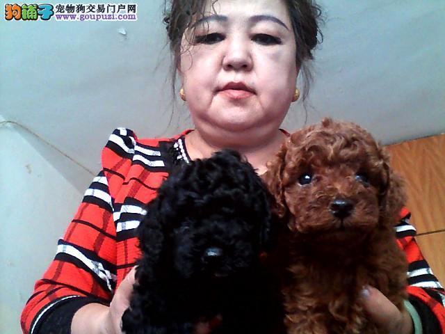 出售泰迪幼犬,三只黑色的一只红色的