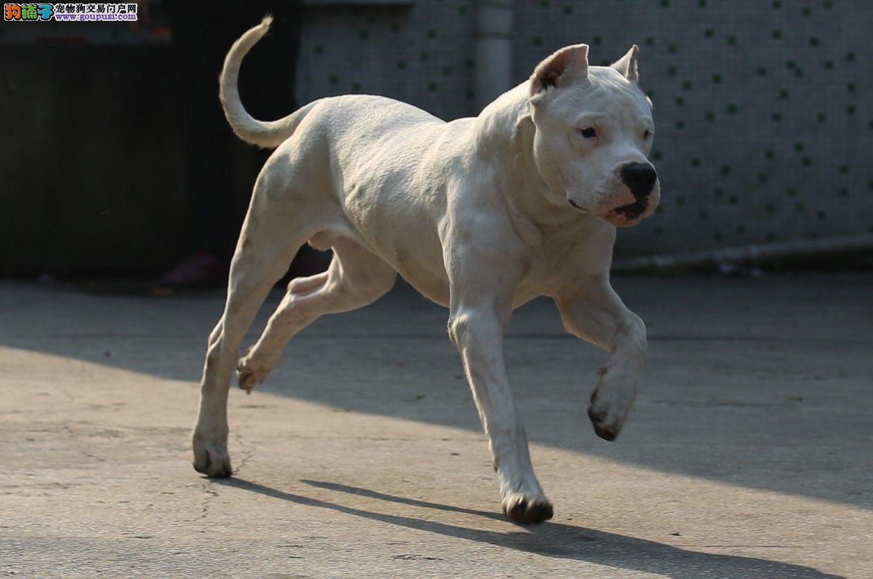 西安热销杜高犬颜色齐全可见父母冠军级血统品质保障