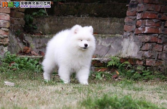 出售纯种萨摩耶犬 微笑萨摩耶幼犬出售 萨摩耶狗