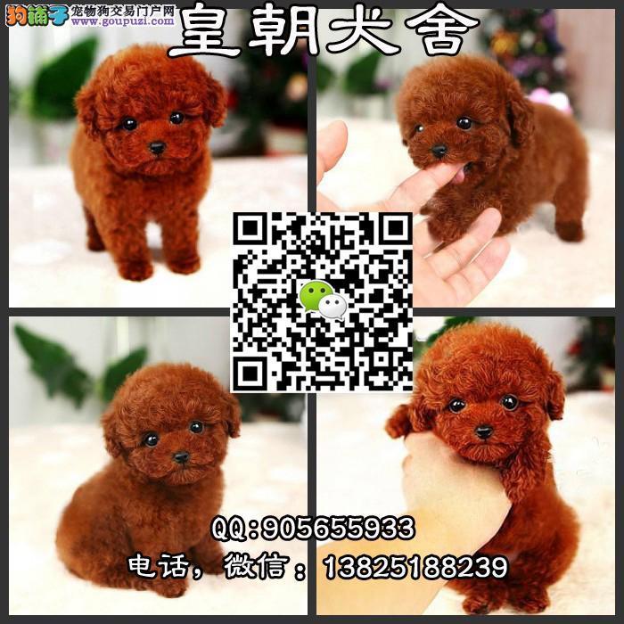 出售高品质玩具体泰迪犬 纯种韩系小体泰迪犬