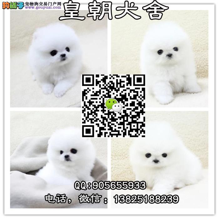出售哈多利球形博美犬 纯种可爱白色球体博美犬