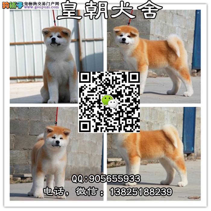 日系秋田犬宝宝 尊贵品质 高端伴侣犬护卫犬