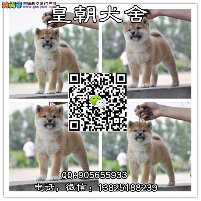 专业柴犬养殖场出售日系高品质柴犬保证纯种健康