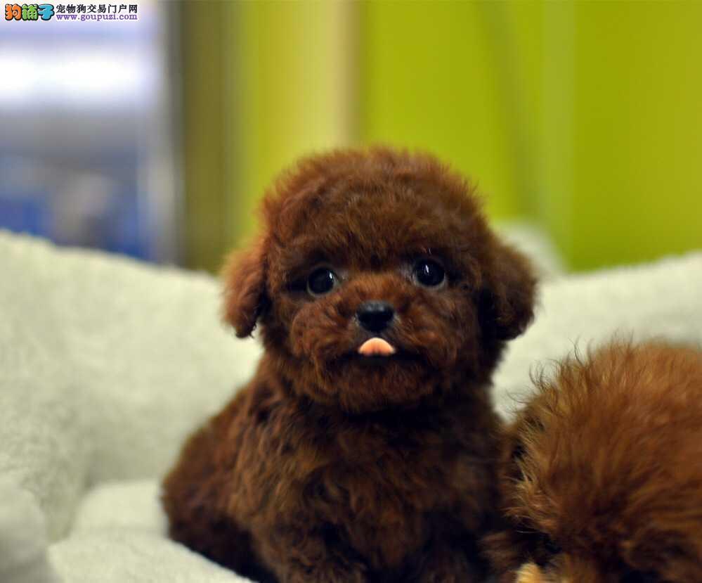 出售纯种泰迪 泰迪幼犬 纯种健康签协议 可送货