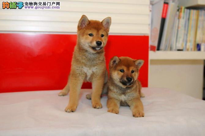 高品日本柴犬待售 公母均有 专业繁育 签署购犬协议