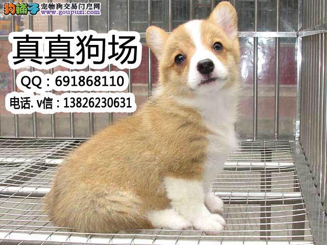 东莞哪里有卖柯基犬 东莞柯基犬多少钱 柯基犬怎么养