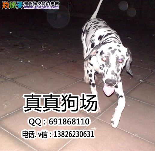 深圳哪里有卖斑点狗 深圳斑点狗多少钱 斑点狗照片