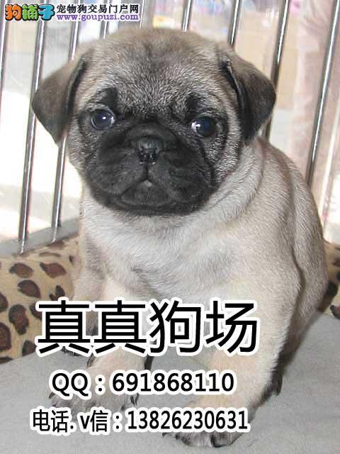 东莞哪里有卖巴哥犬 东莞哪里卖巴哥犬比较好