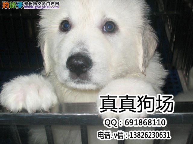 东莞哪里有卖纯种大白熊 东莞边度有大白熊出售