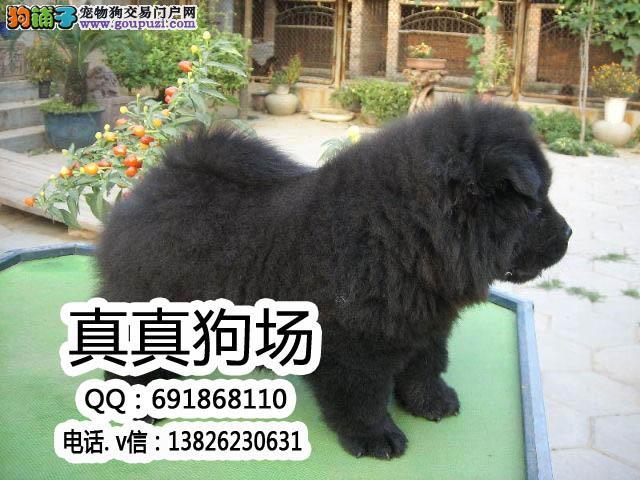 东莞哪里有卖纯种的松狮犬 东莞松狮犬多少钱一只