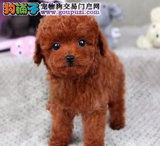 东莞那里有卖贵宾犬 东莞贵宾犬多少钱一只