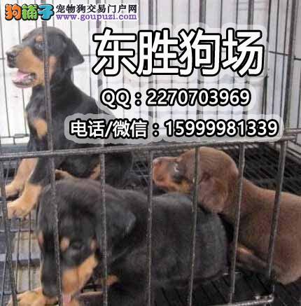 广东最大的杜宾专业繁殖 纯种德系美系杜宾火爆出售