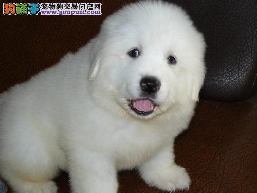 出售血统纯种的大白熊幼犬 公母都有 疫苗驱虫齐