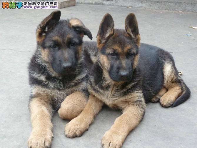 成都犬舍直销、纯种德国牧羊犬、签协议包纯种健康