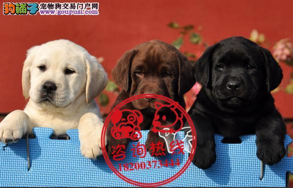 丹东拉布拉多犬舍专业繁殖精品拉布拉多幼犬视频可退换