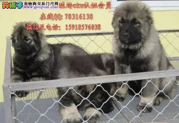 广州哪里有卖纯种高加索狗 出售俄罗斯护卫犬高加索