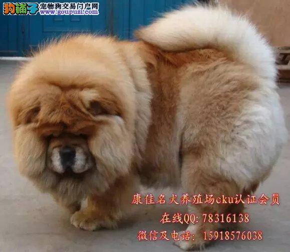 广州哪里有卖纯种松狮犬 出售肉嘴面包嘴松狮小狗