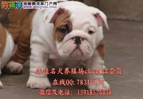 广州哪里有卖纯种英国斗牛犬 法国斗牛犬