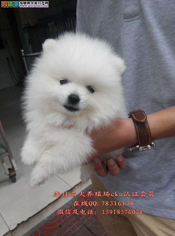 广州哪里有卖博美狗 出售纯种球体博美 俊介博美