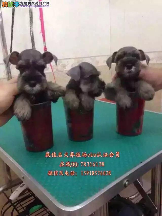 广州哪里有卖纯种雪纳瑞狗 出售迷你型标准雪纳瑞