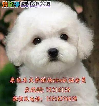广州哪里有卖比熊狗 出售纯种法国卷毛比熊小狗