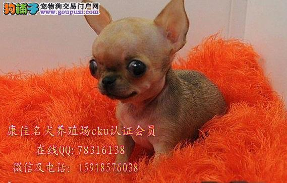 广州哪里有卖吉娃娃狗 出售苹果头纯种吉娃娃幼犬