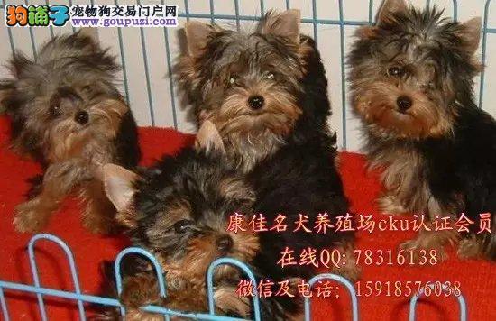 广州哪里有卖纯种约克夏犬 出售金头银背约克夏小狗