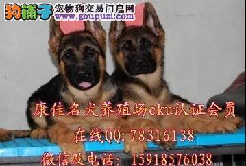 广州哪里有卖德国牧羊犬 出售黑背 弓背德牧狼狗