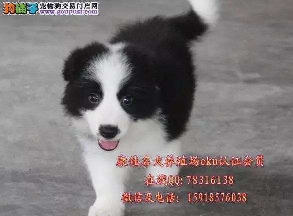广州哪里有卖边境牧羊犬 出售智商第一聪明边牧幼犬