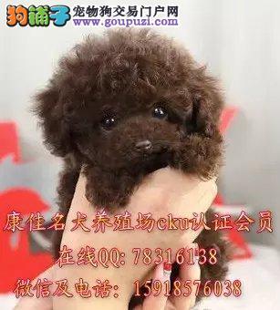 广州哪里有卖纯种贵宾犬 出售红色 灰色 棕色贵宾