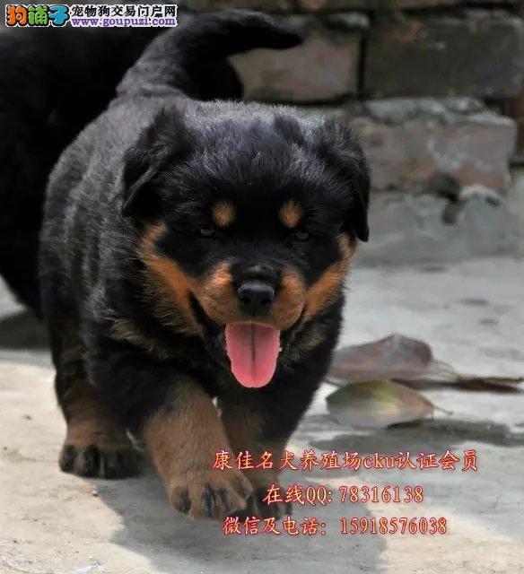 广州哪里有卖纯种罗威纳狗 出售美系德系罗威纳狗