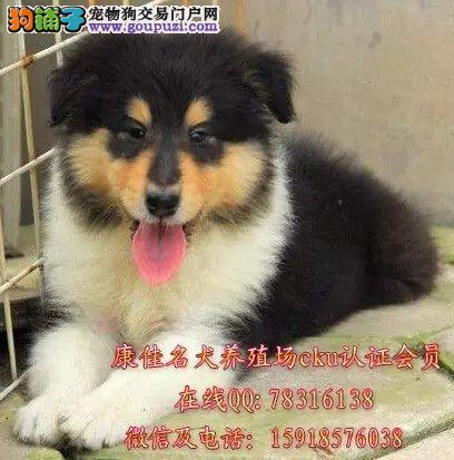 广州哪里有卖苏格兰牧羊犬 出售纯种二色三色苏牧小狗