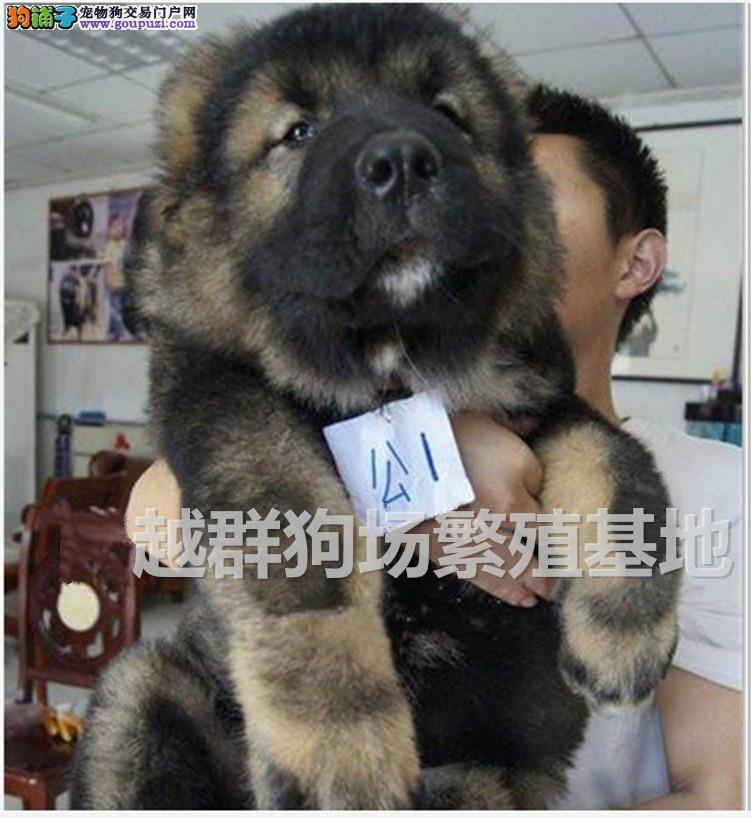 广东大型养狗场 直销顶级高加索护卫犬 血统纯正