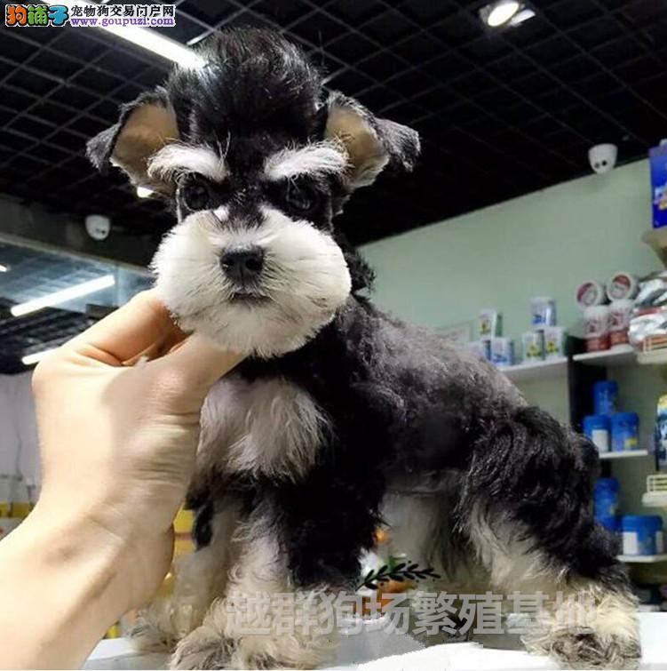 广东大型狗场出售高品质迷你雪纳瑞 血统纯正