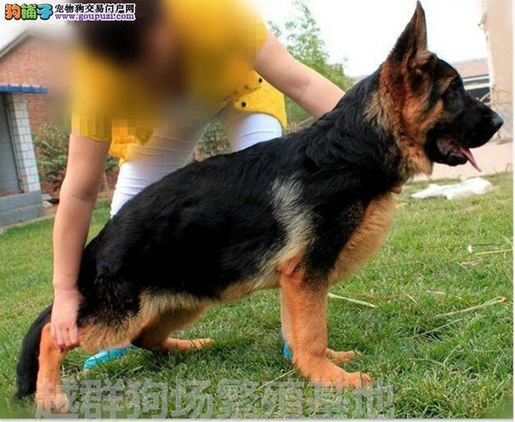 广东大型养狗场直销顶级德国牧羊犬血统纯正