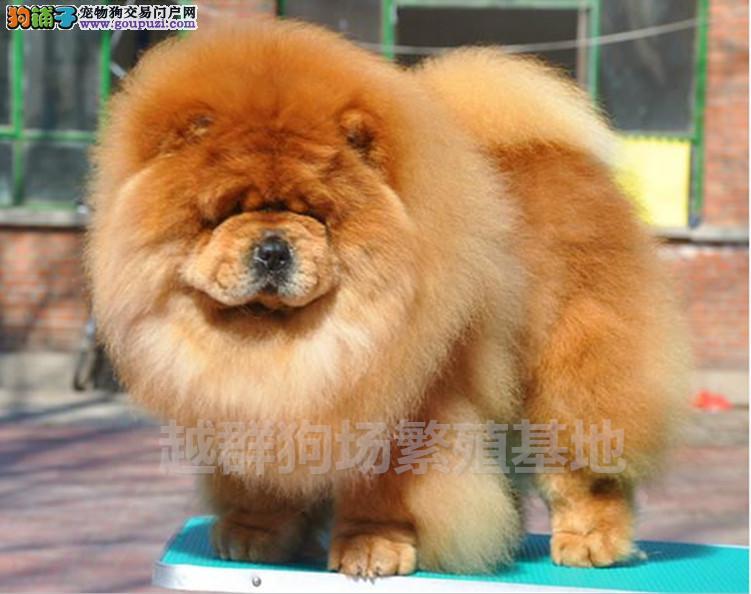 广东大型养狗基地 顶级松狮犬半年包换
