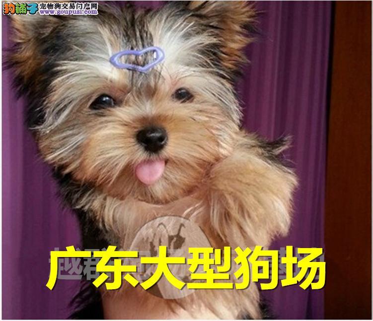 广东大型狗场出售 精品金头银背、蓝背约克夏幼犬